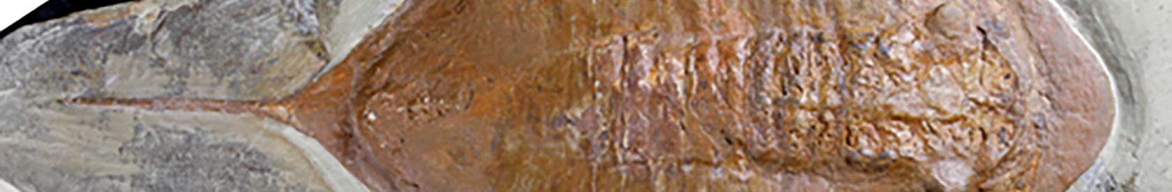 Hallados en Marruecos fósiles de trilobites con patas y partes blandas de hace 478 millones de años