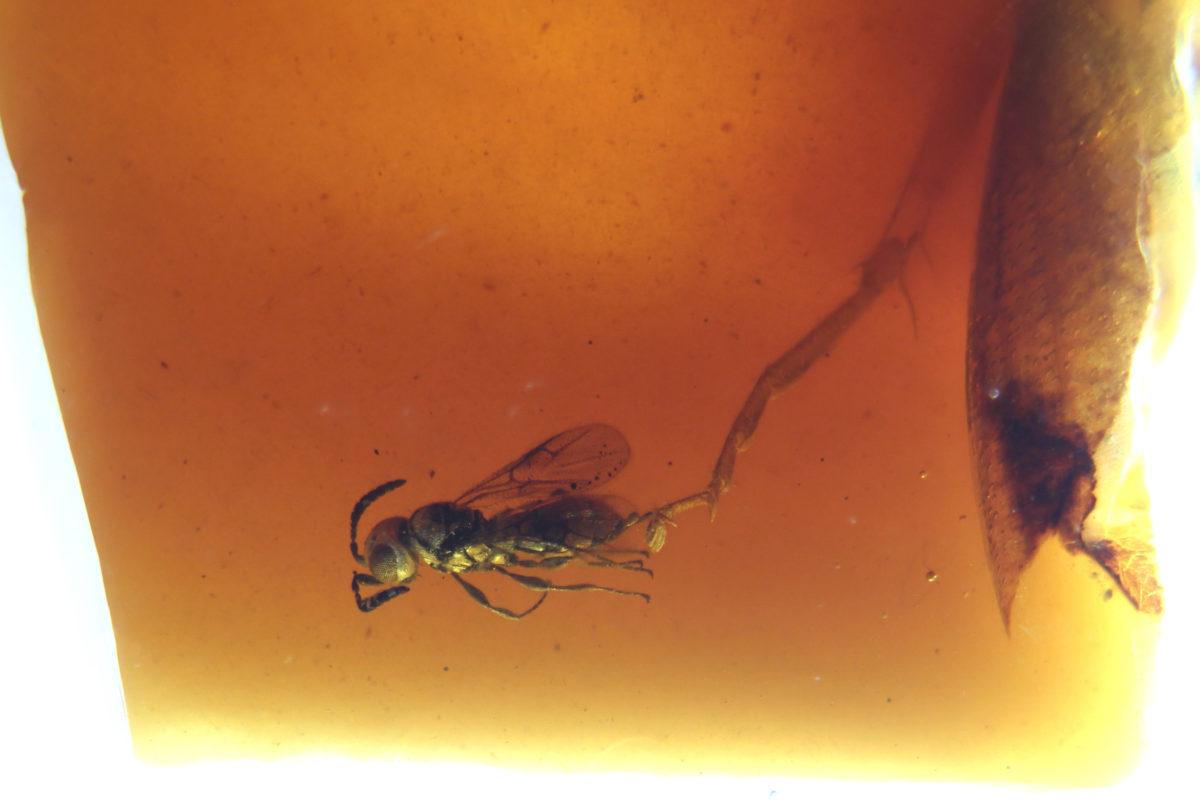 Pequeña avispa en ámbar cretácico de España- longitud menos de 2 mm